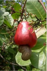 Cashew Fruit tree picture.JPG