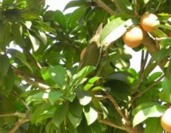 Chiku tree also known as Manilkara zapota fruit tree.JPG