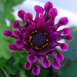 osteospermum in purple image.jpg