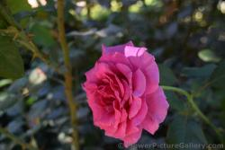 Princess Alexandra Hot Pink Rose from Malaga Spain.jpg