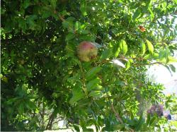 Croatian Fruit Trees pic.JPG