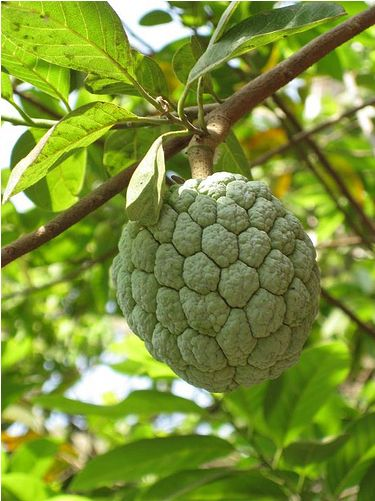 Custard Apples fruit tree_asian fruit tree.JPG