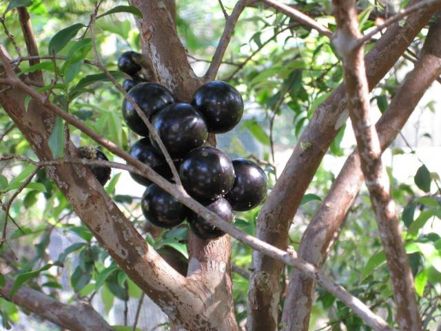 Dark color jaboticaba fruit tree.JPG
