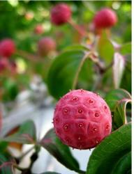Dogwood Tree Fruit in bright pink color.JPG