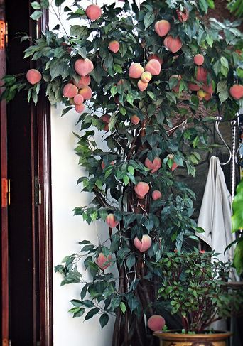 dwarf fruit treejpg