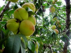 easy fruit trees_fruit tree food.JPG