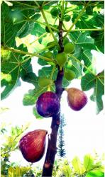 Fig fruit tree with colorful fruits.JPG