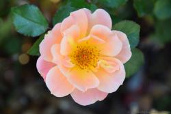 Light Pink Rose Flower with Numerous Small Stamen from Kusadasi Turkey.jpg