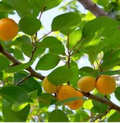 Fruit Apricot tree.JPG