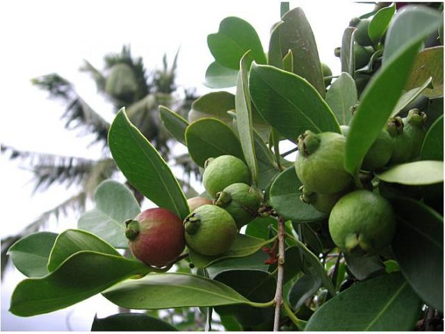 Red strawberry guava guava tree photo.JPG