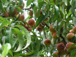 fruit tree leaves with full of peach fruits.JPG