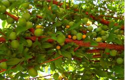 Fruit tree picture.JPG
