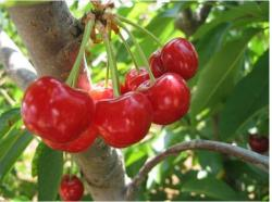 fruit tree with cherry berries pictures.JPG