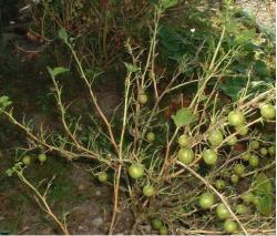 Gooseberry fruit tree pictures.JPG