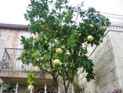 Grapefruit tree picture.JPG
