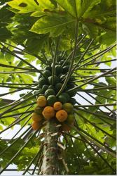 Green and yellow papaya tree fruit_hardy fruit trees.JPG