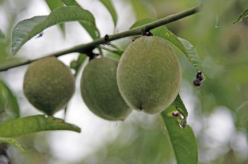 green fruit tree image.JPG