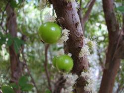 Green Jaboticarba Tree_new fruit trees.JPG