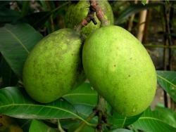 Green mango fruit tree_asian fruit tree.JPG