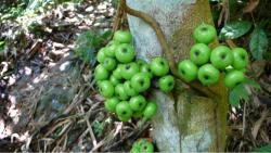Green Wild fruit tree.JPG