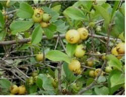 guava fruit tree.JPG