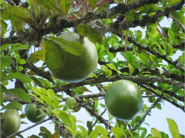 higuera tree fruit in puerto rico jpg  1 comment  hi