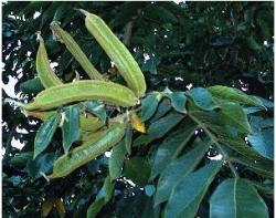 Ice Cream Bean – Inga edulis tree.JPG