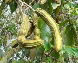 Ice Cream Bean tree pictures.JPG