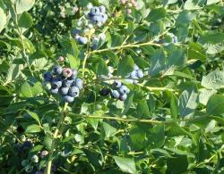Image of  blueberry tree.JPG