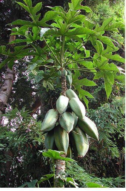 image of Babaco tree with full of fruit.JPG