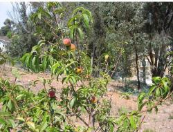 Image of fruit trees.JPG