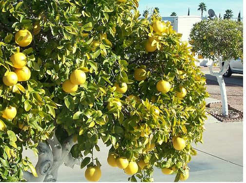 Image of Grapefruit tree.JPG