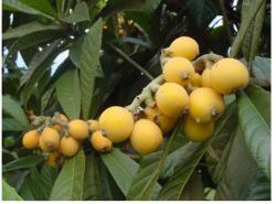 image of Loquat fruit.JPG