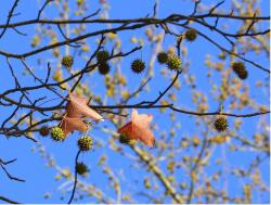 Image of sweet gum tree with cute fruit.JPG
