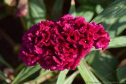 Exotic Cock's Comb Red Flower from Athens Greece.jpg