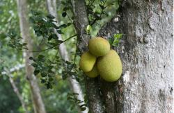 Jackfruits tree.JPG