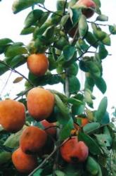 Japanese Persimmons fruit tree pictures.JPG