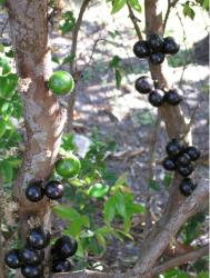 jjaboticaba fruit tree in black and green.JPG