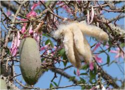 Kapok fruit tree images.JPG