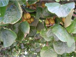 kiwi tree photos.JPG