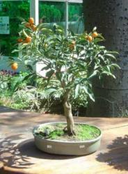 Kumquat Bonsai - miniature tree.JPG