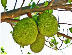 Langka fruit tree_also known as Jack fruits.JPG