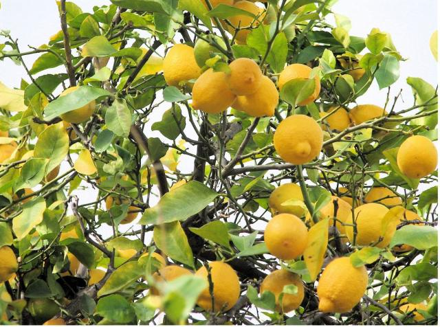 Lemon fruit tree in the garden.JPG