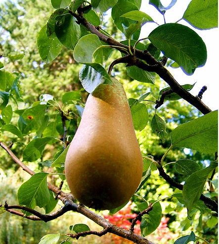 Light brown pear tree photo.JPG