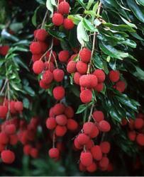 Litchi chinensis fruit tree.JPG