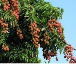 Litchi chinensis fruit tree photos.JPG