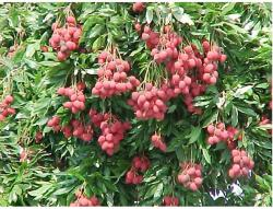 Litchi chinensis fruit trees image.JPG