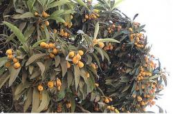 Loquat fruit tree or Eriobotrya japonica tree.JPG