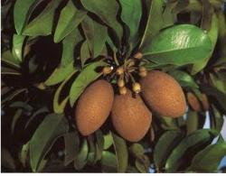 Manilkara zapota fruit trees.JPG