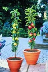 miniture fruit trees photos.JPG